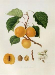 PrunusarmeniacaL.
