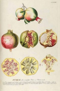 Pomegranate, Punica granatum L, illustrated by Georg Dionysius Ehret 1771 From Plantae Selectae vol 8 t 72 by CJ Trew 2